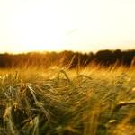 The Fate Of Indian Agriculture: El Niño And La Niña